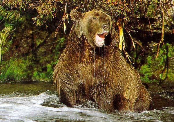 Природа в общем.  Медведь проголодался и пошел на речку рыбу ловить.