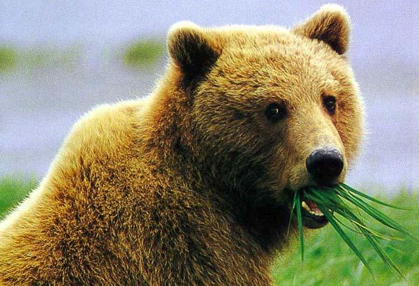 DikieZveri com - Чем питаются бурые медведи - Хищные