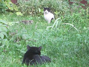 белая и черная кошка