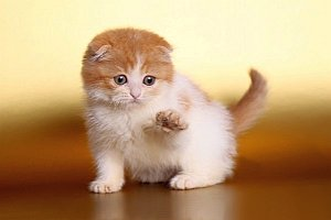купить шотландского вислоухого котёнка