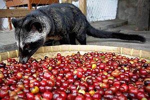 мусанг поедает кофейные ягоды